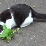 猫がマタタビを好むのは蚊を寄せ付けない為との研究結果がだたそうです。
