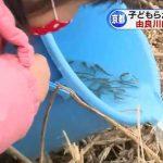 京都・由良川でサケの稚魚5万匹を放流