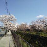 京都の桜、開花しました!
